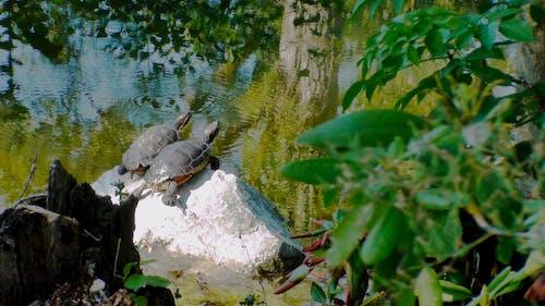 reflejos, 海龟 的 免费素材照片