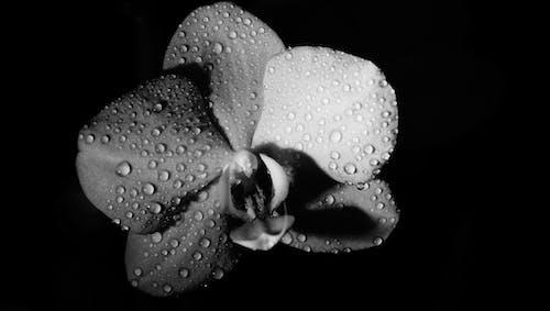 Free stock photo of beautiful flowers, μαύρο και άσπρο