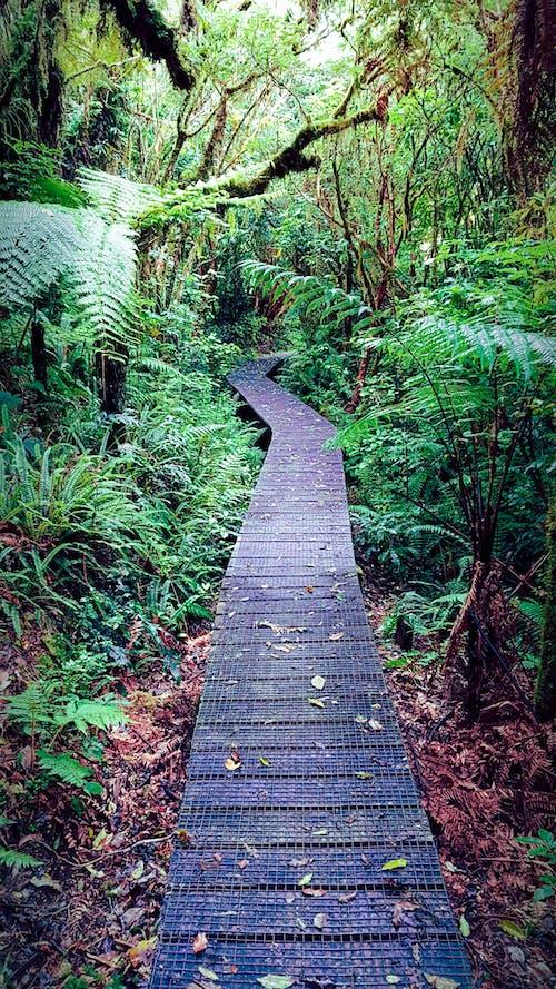 Free stock photo of boardwalk, ferns, forest
