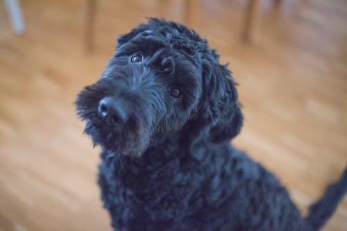Black Short Coat Dog Sitting on Brown Wooden Floor