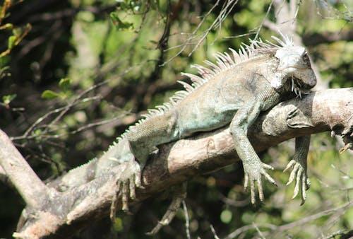 Základová fotografie zdarma na téma pláž iguana, stromy