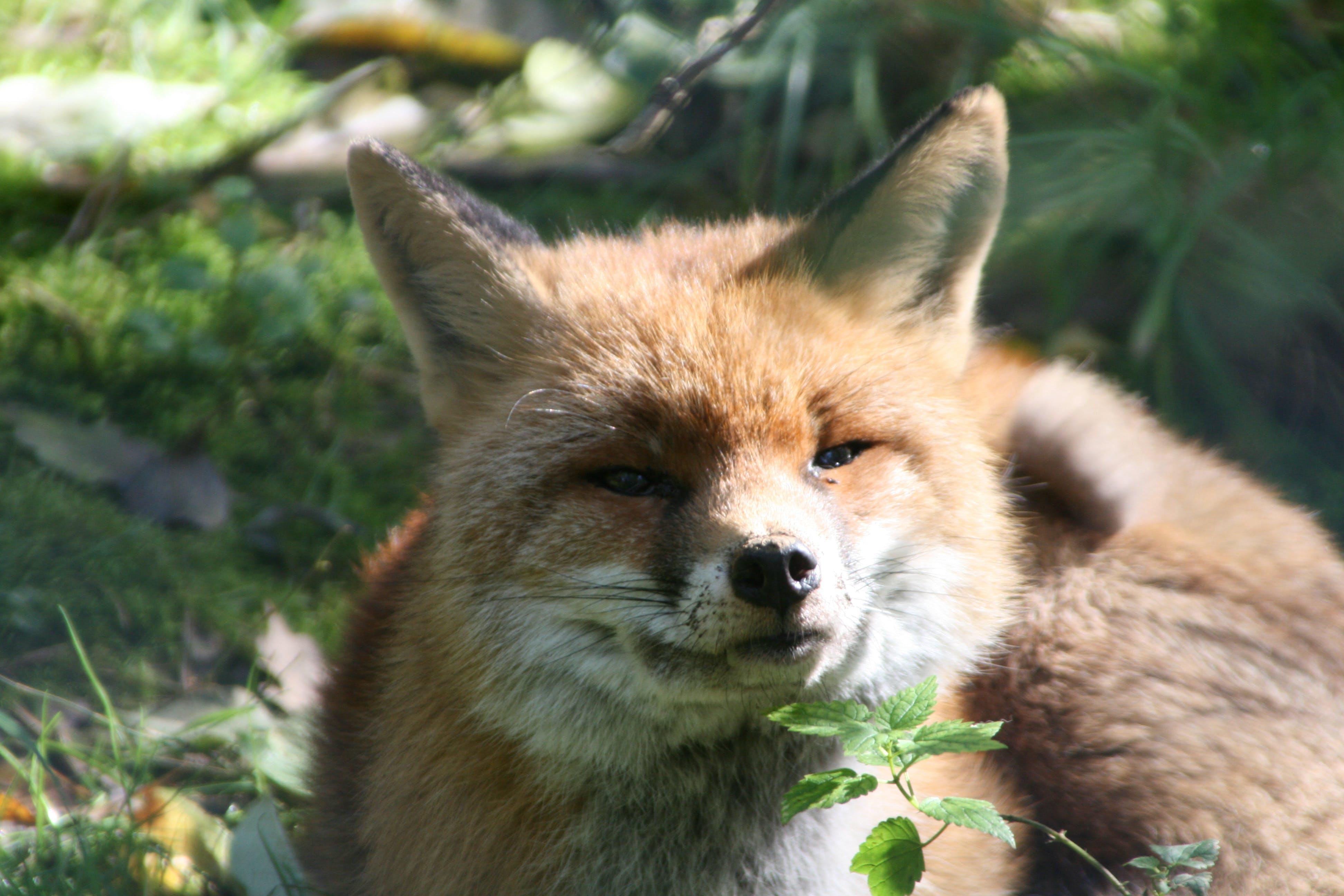 Základová fotografie zdarma na téma liška, příroda, savec, zvíře