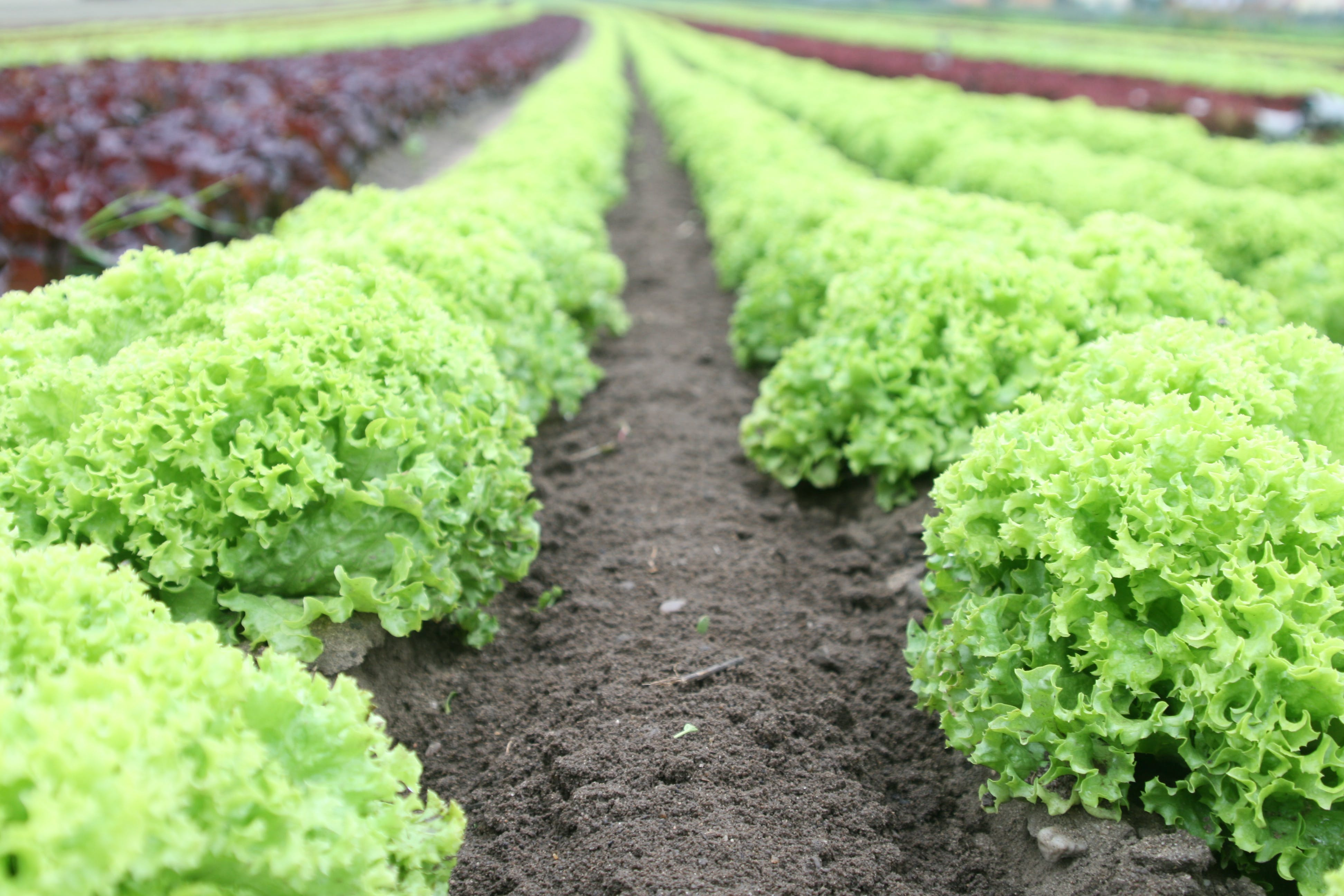 How To Grow Lettuce   How To Grow Lettuce For A Free And Fresh Winter Supply