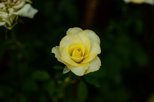 A Close-Up Shot of a Yellow Rose in Bloom