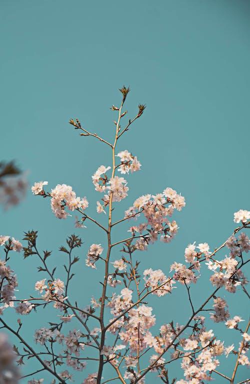 Fotos de stock gratuitas de blanco, cerezos en flor, cielo limpio