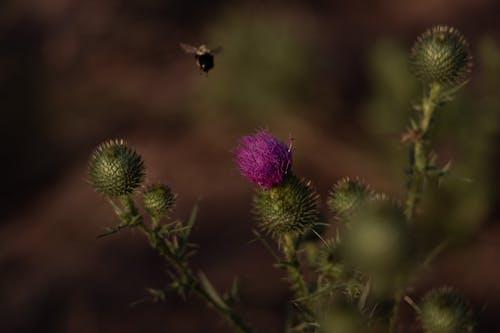 Ingyenes stockfotó bogáncs, háziméh, lándzsás bogáncs témában