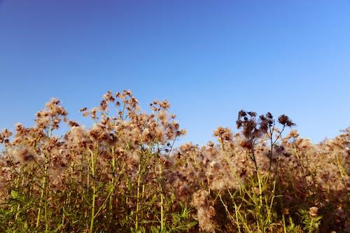 Ingyenes stockfotó gyapot, gyapot gyom, kék ég témában