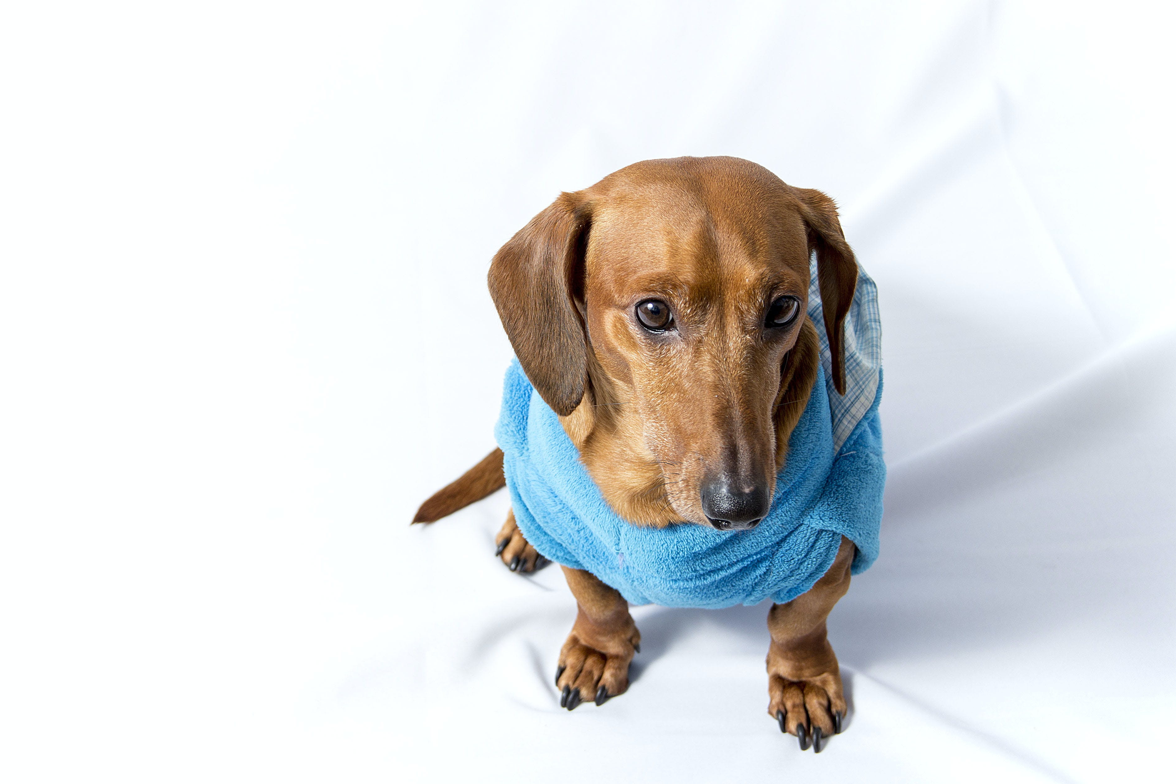 Adult Brown Dachshund Wearing Blue Shirt