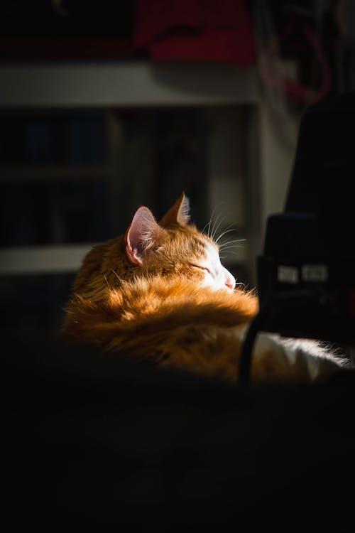 Gratis arkivbilde med dyr, hår, katt