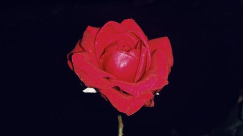 Fotos de stock gratuitas de Rosa roja