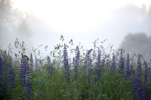 Photos gratuites de clairière, ensoleillé, fleurs, lupin