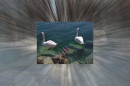 cisnes 的 免费素材照片