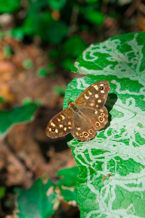 Free stock photo of butterflies, croatia, flower