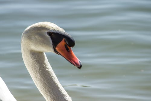 Základová fotografie zdarma na téma detailní záběr, labuť, zvíře
