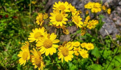 Kostenloses Stock Foto zu blume, gelbe blume, natur