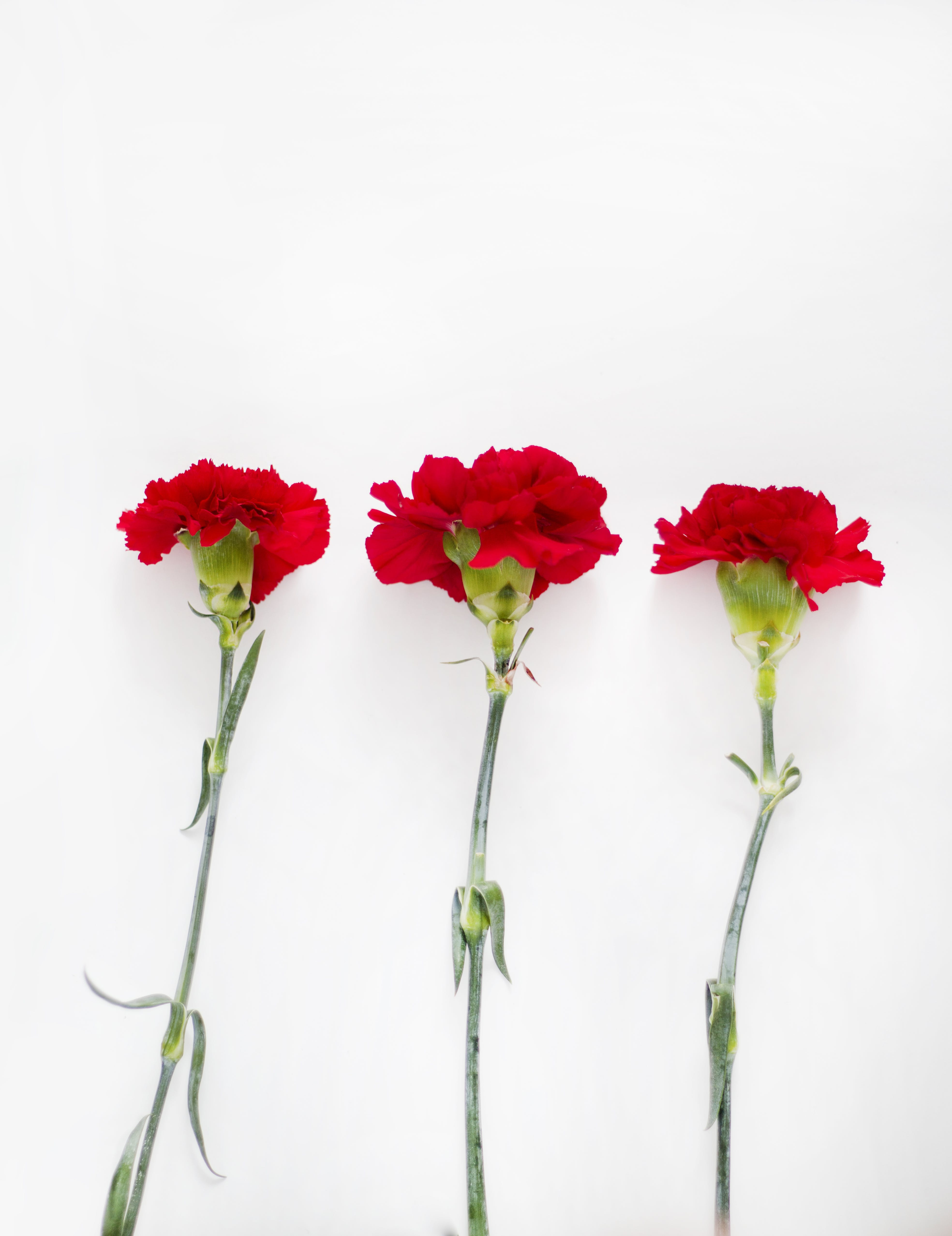 Flatlay Photography of Carnation