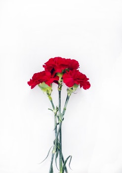 Flatlay Photography of Red Carnations