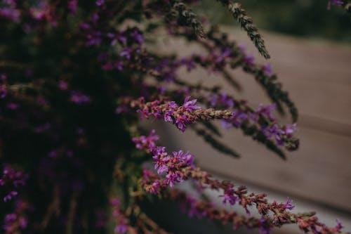 Безкоштовне стокове фото на тему «бузок, верес, вродлива»