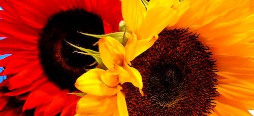 Immagine gratuita di fiori, giallo, girasoli