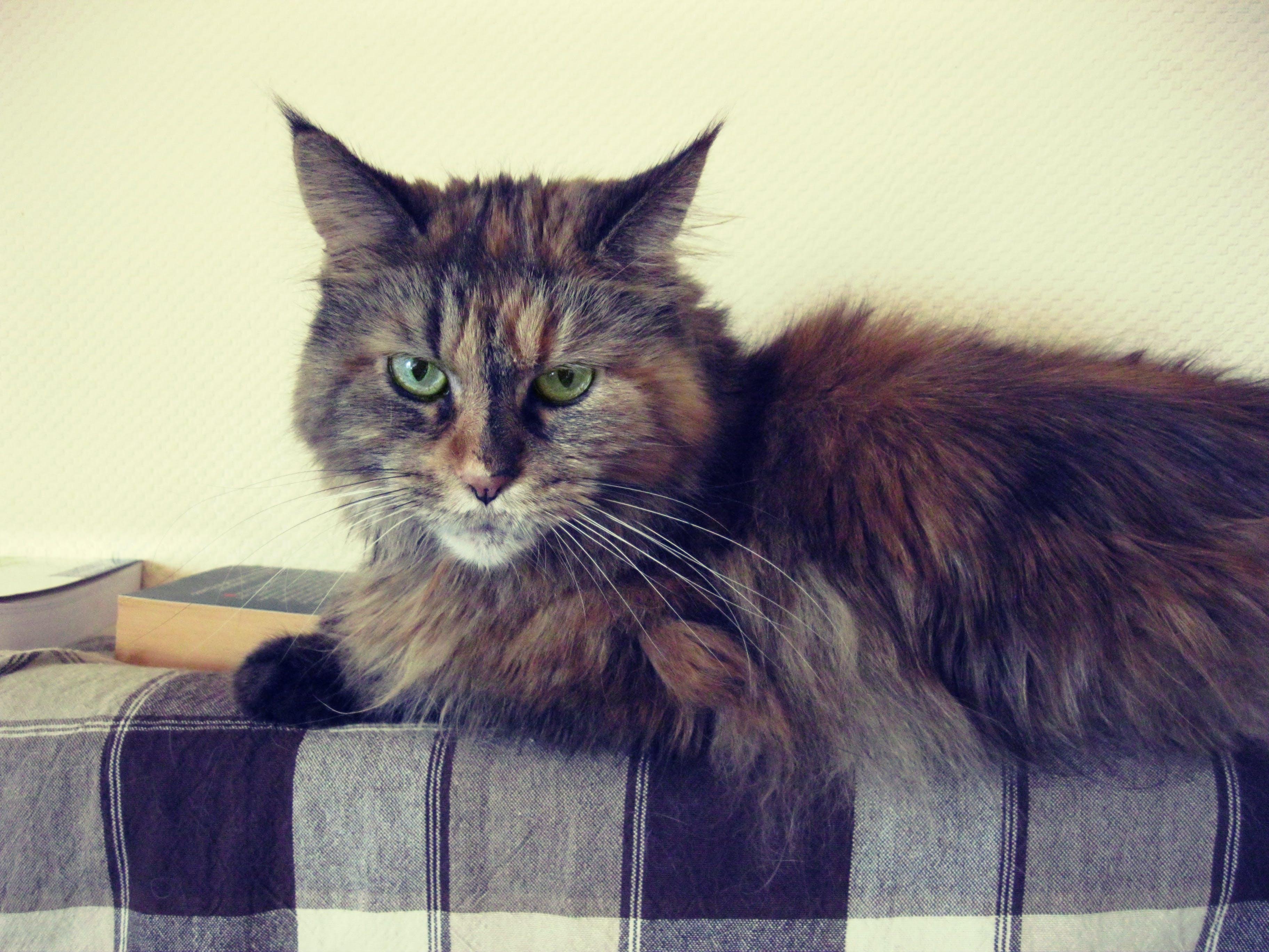 Brown Black Long Fur Cat
