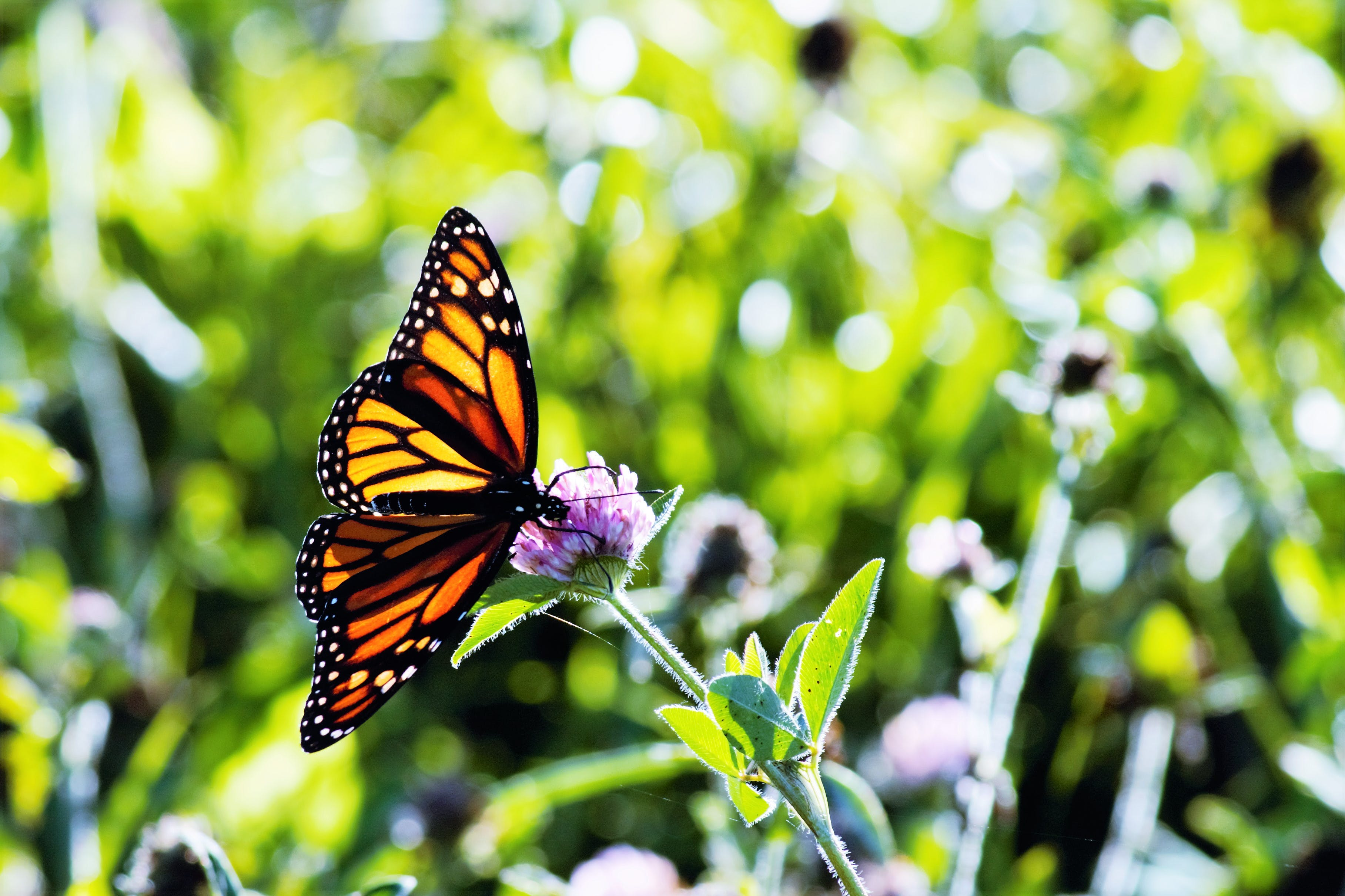 Free stock photo of monarch butterfly, nature