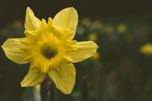 Close-up Photography of Daffodil Flower