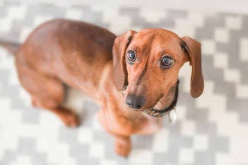 Close-up Photography of Dachshund