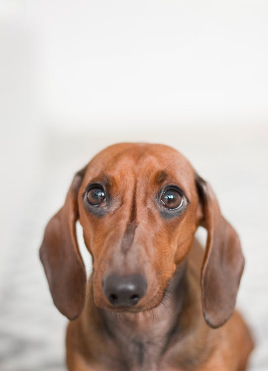 Closeup Photo of Red Dachshund