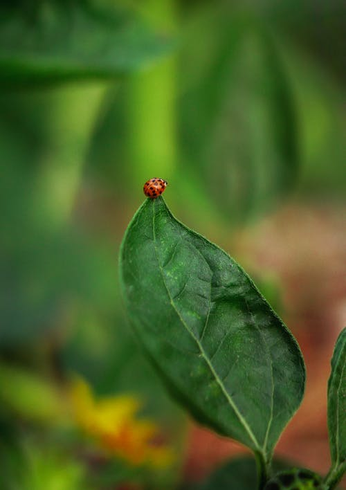 Red Ladybug on Green Leaf in Close Up Photography