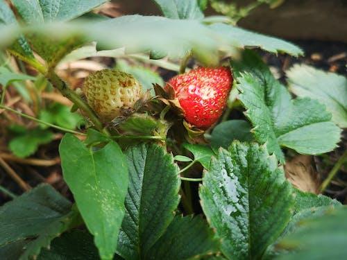 Kostenloses Stock Foto zu beere, erdbeeren, frucht