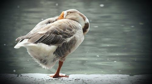 Gratis lagerfoto af and, dyrefotografering, fredelig, landskab