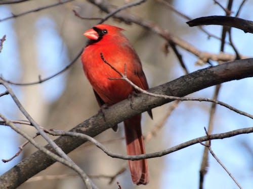 Darmowe zdjęcie z galerii z czerwone ptaki, kardynał, północny kardynał, ptak śpiewający