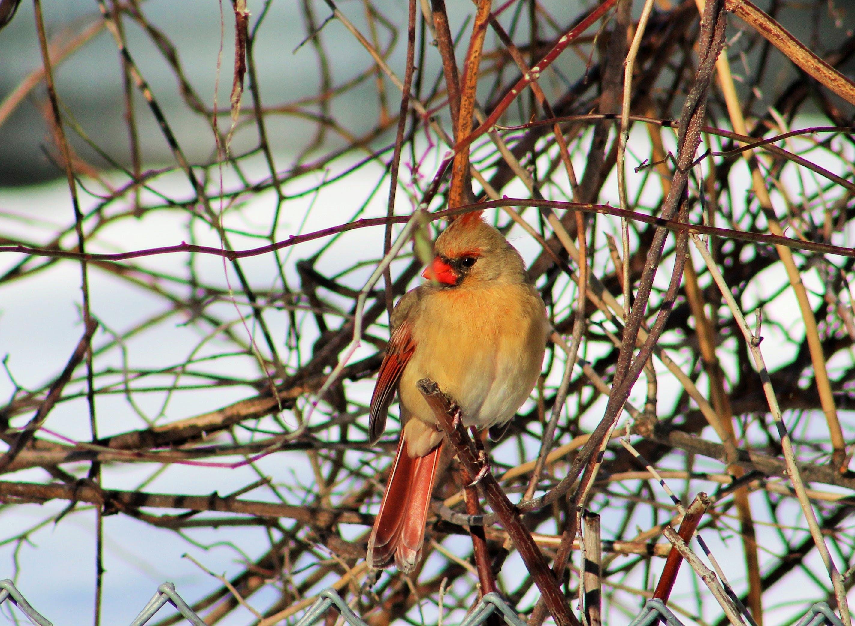 Free stock photo of birds, female cardinal, Northern cardinal, red bird