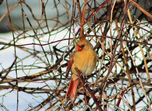 Darmowe zdjęcie z galerii z czerwony ptak, kobieta kardynał, północny kardynał, ptaki śpiewające