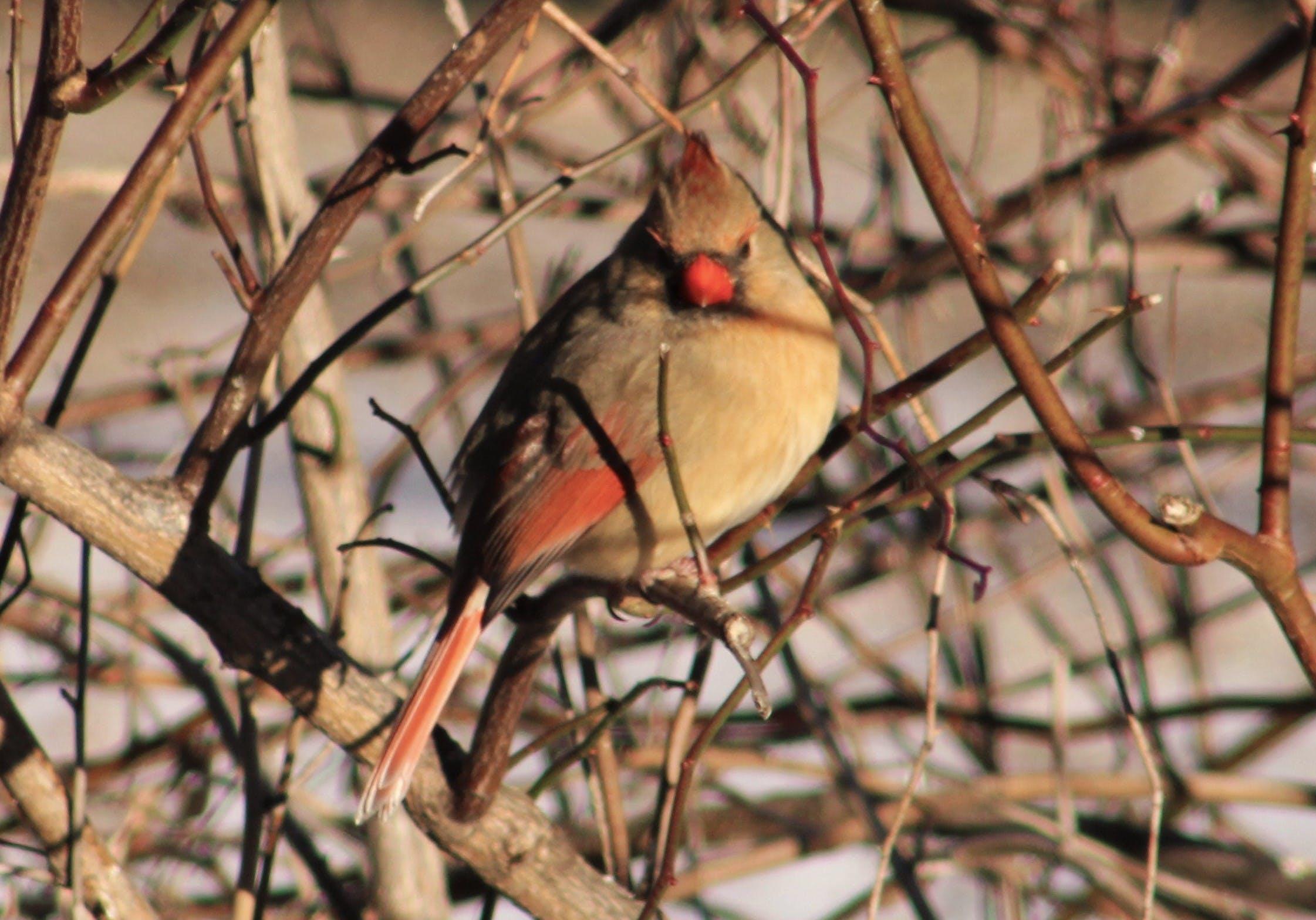 Free stock photo of bird, birds, female bird, female cardinal