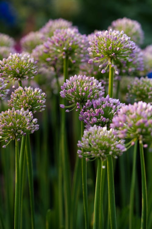 Close-Up Shot of Onion Flowers in Bloom