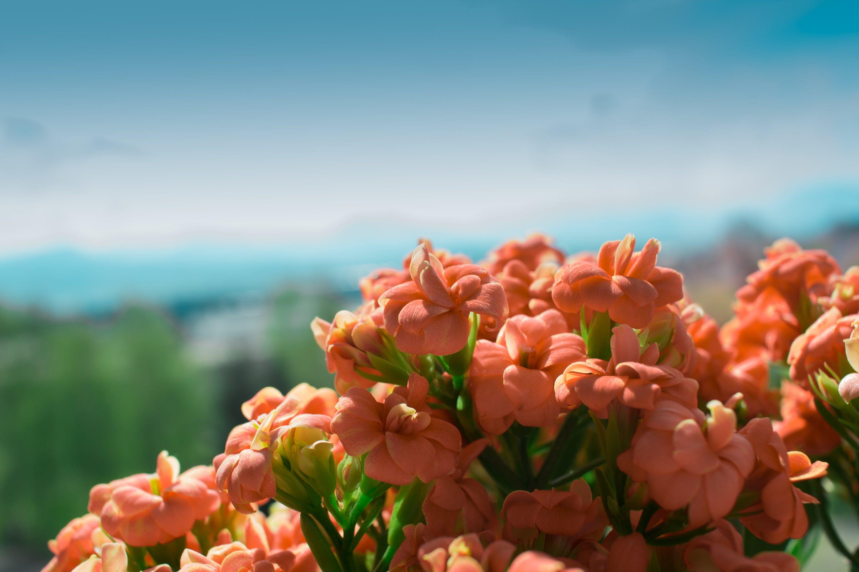 Pink Petaled Flower on Bloom at Daytime