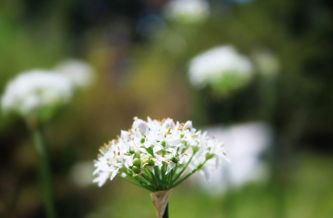 allium, blomst, blomsterhave