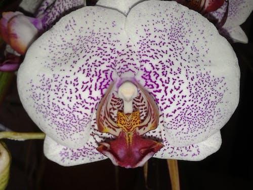 Immagine gratuita di fiore, orchidea