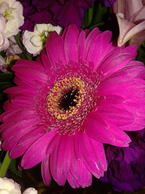 Immagine gratuita di bouquet di fiori, fiore, gerbera, margherita