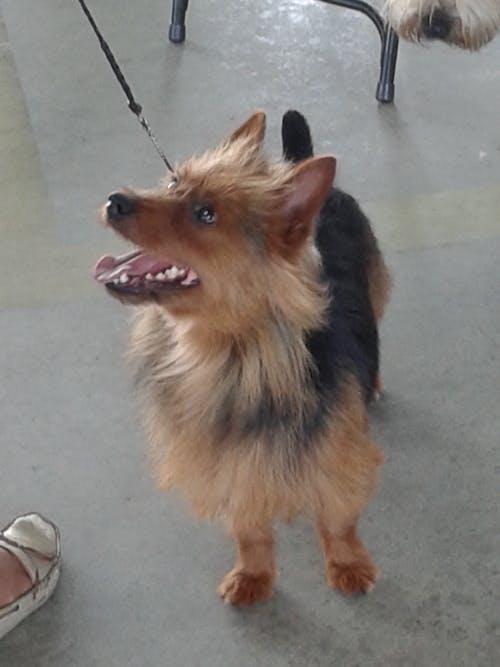 Бесплатное стоковое фото с австралийский терьер, собака, терьер