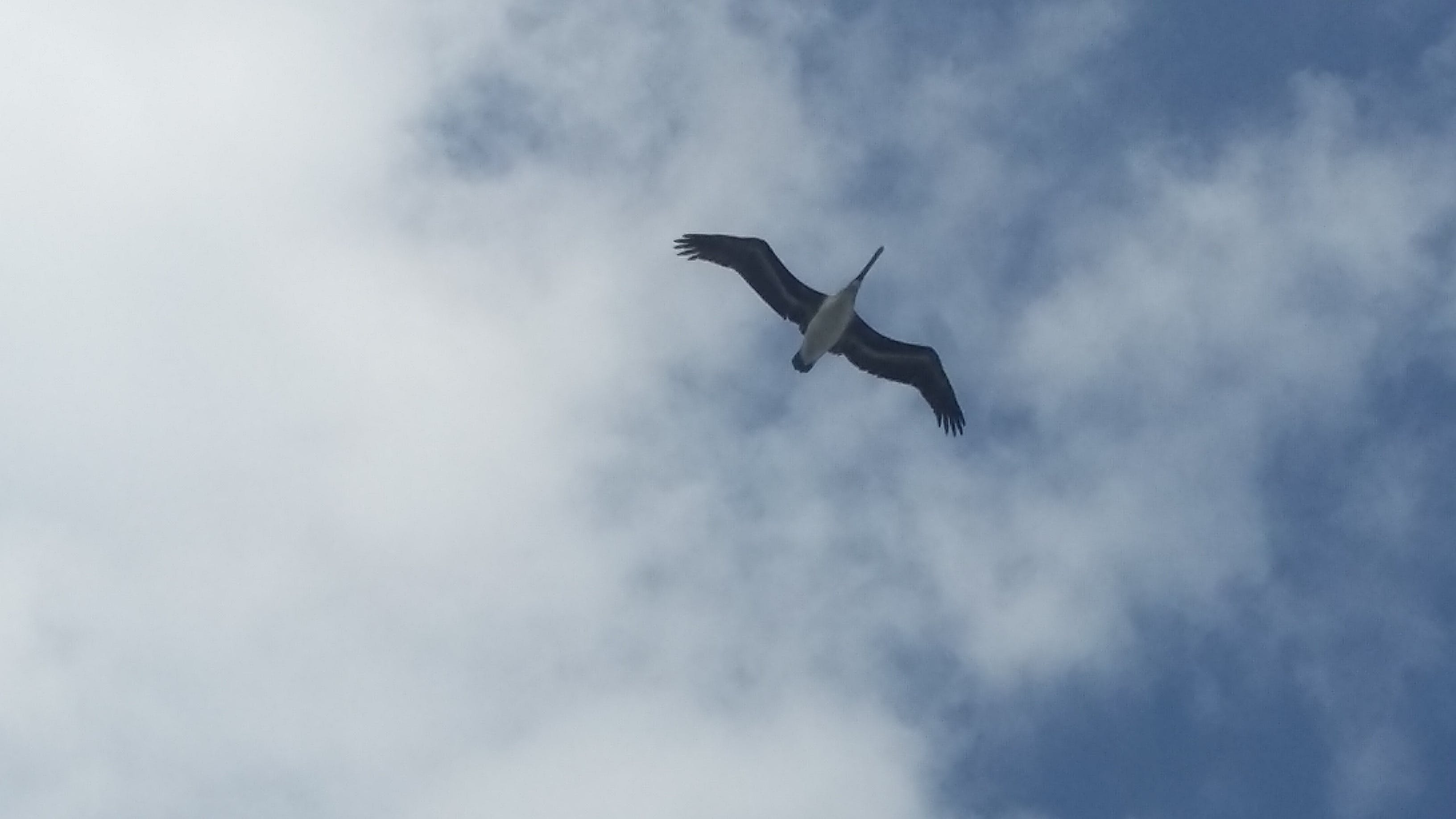 Free stock photo of flying, freedom, pelican, sky
