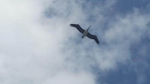 Immagine gratuita di cielo, libertà, pellicano, volando