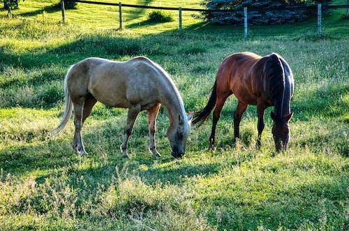 Foto d'estoc gratuïta de agricultura, animal, bestiar