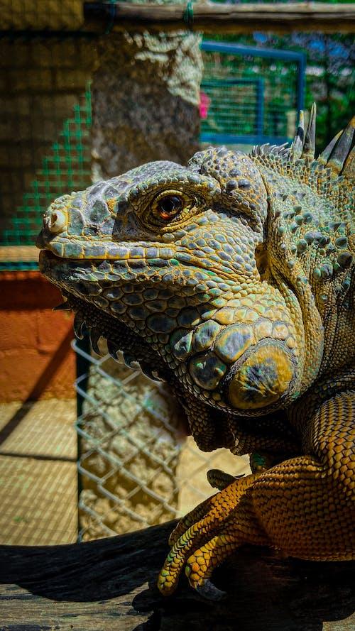 Green Iguana on Brown Log
