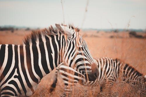 Základová fotografie zdarma na téma africké divoké zvěře, Afrika, divočina