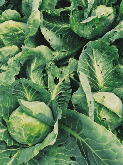 Leafy Green Cabbage