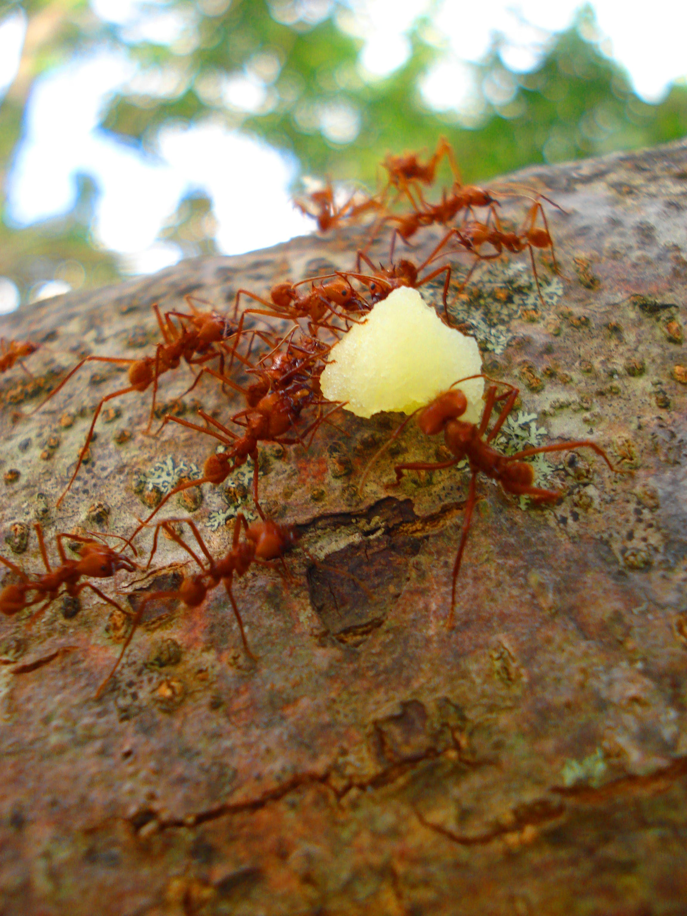 Free stock photo of ants, nature, red ants