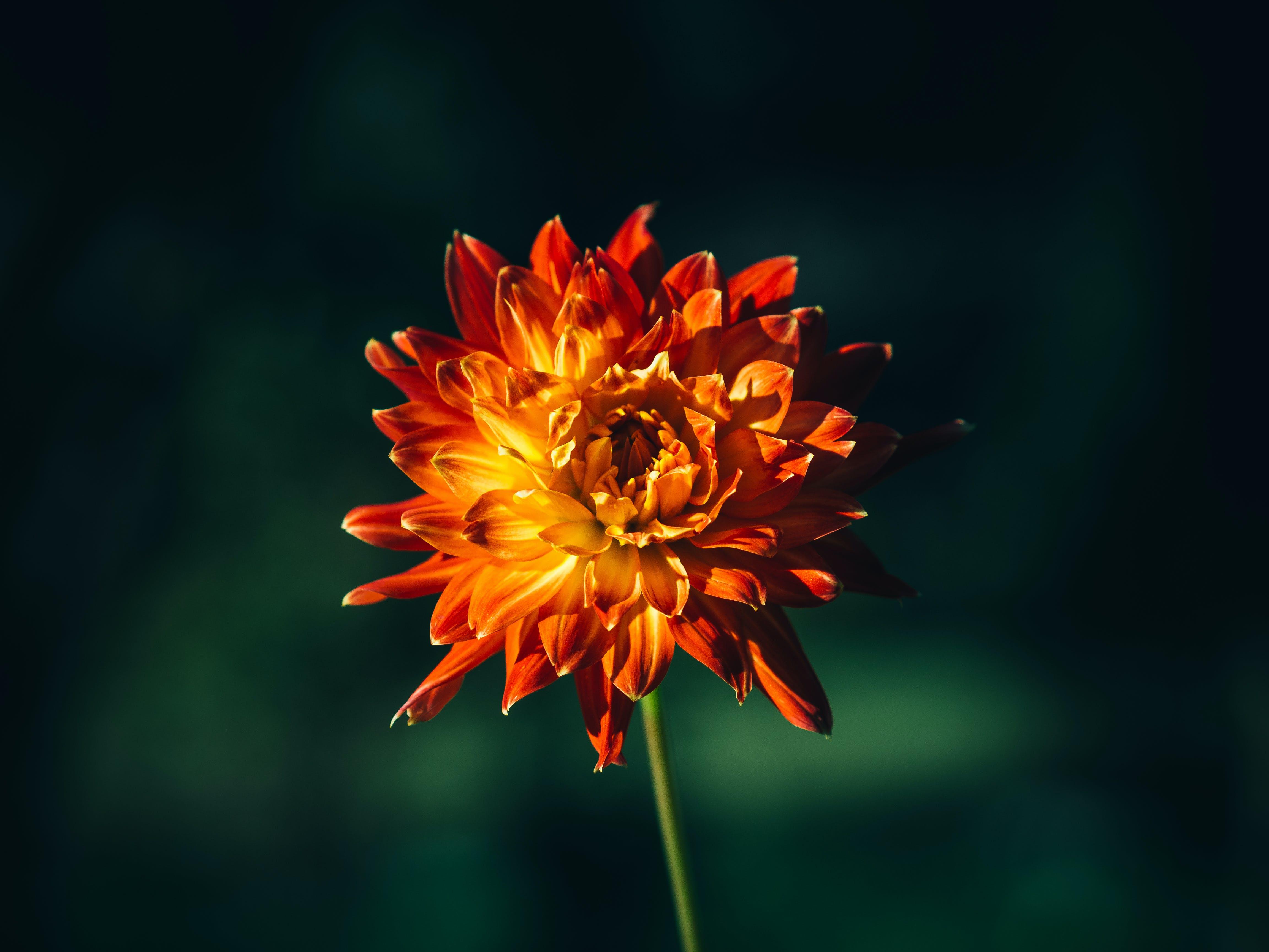 flower, nature, orange