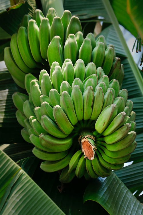 Clusters Of Green Bananas